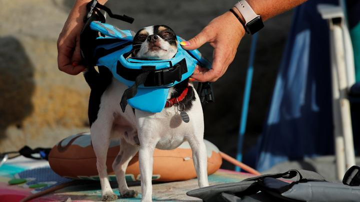 "Seekor anjing kecil dikenakan pelampung untuk diturunkan dalam Helen Woodward Animal Center ""Surf-A-Thon"" yang ke-14 di di Del Mar, California, AS, 8 September 2019. REUTERS/Mike Blake"