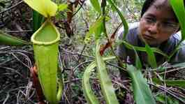 Nepenthes holdenii