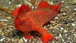 Red Handfish (Thymichthys Politus). Kredit: Reef Life Survey